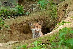 Red fox, liška obecná, vulpes vulpes