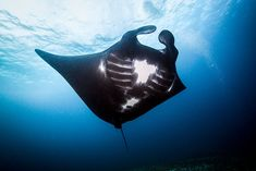 Last week saw a milestone victory for manta-ray conservation efforts worldwide, with the Indonesian government passing legislation to ban the fishing and export of the species within its waters. Underwater Life, Underwater Photos, Underwater Photography, Beautiful Ocean, Animals Beautiful, Melanistic Animals, 7 Natural Wonders, Turtle Conservation, Komodo National Park