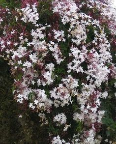 Climbers: Pink Jasmine - A thirsty, speedy grower that displays fragrant, pink-white flowers, this evergreen does best in tropical areas (zones 8 throug...