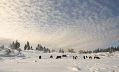 wild ponies @ grayson highlands state park, southwest virginia.