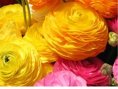 Ranunculus bulbs are popular in Texas and other areas of the Southwest with mild winters They grow best in USDA Zones 8 to 11 Plant ranunculus bulbs in October or Novembe.
