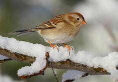 Field Sparrow by Ann Weis | GBBC