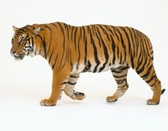 Closeup Bengal tiger at Jim Peck's Wildwood, Minocqua, Wisconsin,...