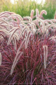 Fireworks Variegated Purple Fountain Grass (Pennisetum setacum rubrum Fireworks). This variety does not become invasive, as is sterile.