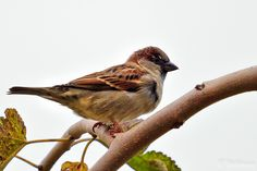 Sparrow #sparrow #birds #photography #500px