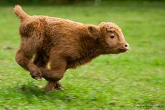 20 Adorable Photos of Baby Highland Cattle Calves – Page 20 Cute Baby Cow, Baby Cows, Cute Cows, Cute Funny Animals, Cute Baby Animals, Farm Animals, Highland Calf, Mini Highland Cow, Fluffy Cows