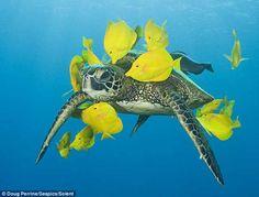 cirujanos amarillo limpían el caparazón a una tortuga