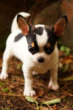 Effective Potty Training Chihuahua Consistency Is Key Ideas. Brilliant Potty Training Chihuahua Consistency Is Key Ideas. Cute Chihuahua, Cute Puppies, Cute Dogs, Puppies Puppies, Teacup Chihuahua Puppies, Funny Dogs, Baby Dogs, Doggies, Cute Baby Animals
