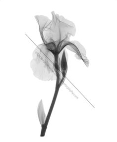 x ray flowers downloadable | An X-ray of an iris flower (Iris germanica) . This low energy x-ray ...