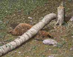 karma to the beaver! Funny Animal Fails, Funny Fails, Funny Animals, Stupid Animals, Animals Images, Irony Humor, Bible Cartoon, In Soviet Russia, Death Proof