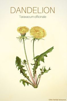 Dandelion - Medicinal Herb  Best kept secret weightloss tips pinned by Online Weightloss Coach Merja Lindroos . To get our guide to get skinny now  click here http://getskinnyguide.net/  #weightloss #skinny #getskinnyguide