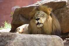 """""""I wasn't asleep. I was just resting my eyes.""""     Farasi, who turned 22 on September 9, 2012, is the oldest male African lion living in the North American population of pedigreed cats managed by the Association of Zoos and Aquariums (AZA) Lion Species Survival Plan (SSP) ... so if he feels like a cat nap every once in a while, so be it!"""