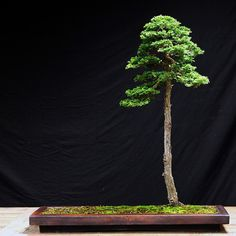 A very natural-looking tall hinoki cypress by Michael Pollock. Fantastic pot and even better composition.