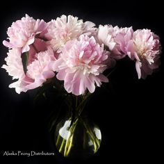 Grown in Alaska in July they are a frilly blush colored bloom. White Peonies, Blush Color, Alaska, Bloom, Plants, Painting, Ideas, Painting Art, Paintings