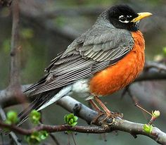 Lovely bird we see in very early Spring down here.