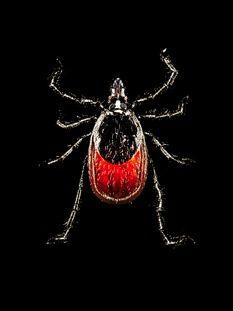 The Lyme Wars .. interesting reading for people and pets.  The Lyme-disease infection rate is growing. So is the battle over how to treat it. New Yorker article by Michael Specter July 1, 2013