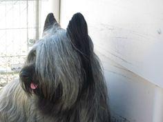 my skye terrier Aragorn age 4