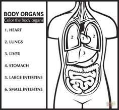 liver black and white coloring pages - Google Search | Easy Science ...