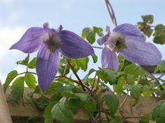 Clematis Francis Rives