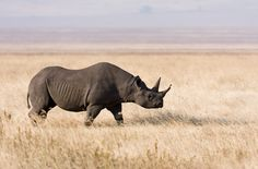 black rhinoceros - Google Search