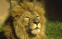 Lion: Asiatic Lion is endangered