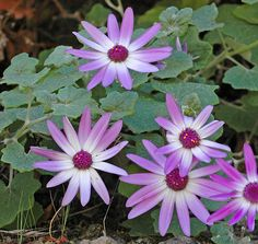 2011 garden addition, Pericallis lanata