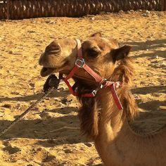 @lgelschyn   Era femea! Fez biquinho na hora da foto! #camel #desert #negev #taglit #birthright