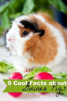 I'm sharing 9 Cool Facts about Guinea Pigs!! You might be surprised at how friendly they are! {Crayons and Collars}