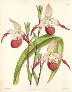 Phragmipedium × calurum - R. Warner & B.S. Williams - The Orchid Album - Wikimedia Commons