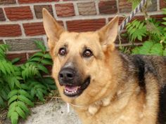 CRYSTAL_A1012235 TO BE DESTROYED 10/07/16**SENIOR DOLL RETURNED FOR NO TIME AND NOW AT RISK!**A volunteer writes: Crystal is a beautiful German Shepherd. She has great manners and sits on command. She seems to like other dogs and people. She is just past puppyhood and is well behaved like a middle aged dog. Come meet this girl. She just may be your next best friend.