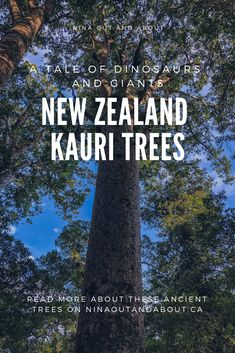 New Zealand Kauri Trees: A Tale of Dinosaurs and Giants Silent amongst the native birds and reptiles of New Zealand, lives the kauri tree. Although they are less well-known than the kiwi or the kea, the kauri are a symbol of New Zealand.