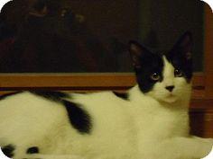 Fenton, MO - Domestic Shorthair. Meet Domino, a cat for adoption. http://www.adoptapet.com/pet/9929644-fenton-missouri-cat