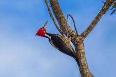 Crimson-crested Woodpecker by Bertrando Campos on 500px