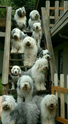 old english sheep dogs oh my lanta Cute Puppies, Dogs And Puppies, Cute Dogs, Doggies, Havanese Puppies, Chien Bobtail, Big Dogs, I Love Dogs, Beautiful Dogs