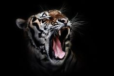 Tiger, Kopf, Tierwelt, Tier,