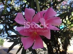 Oleander, common oleander, oleander rose laurel, pink oleander, rose bay, dog bane, scented oleander, south sea rose, sweet oleander, ceylon tree, bunga anis or bunga jepun - The oleander is a...