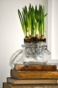 Even the un-bloomed bulbs look stunning in this mason jar on antique books Garden Bulbs, Planting Bulbs, Garden Pots, Outdoor Plants, Potted Plants, Pot Jardin, Spring Bulbs, Bulb Flowers, Growing Plants