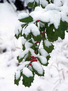 Photo Of Holly Covered In Snow. <3