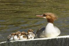 Common Merganser with chicks - Bird Photography for Photographers - Edible Frog
