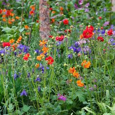 Its a grey day here and were craving some colour provided here by geums aquilegias and chaerophyllum