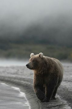 A grizzly bear walking along the shore line.
