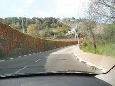 ;Rupin road; That connects between mid town Haifa and the neighborhoods up the mountain , has fklwers over the middle hedge between the two lanes. photo mirjam Bruck - Cohen