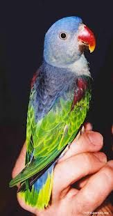 blue rumped parrot - Google Search