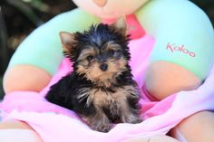 makes me want another yorkie but Snickers would so not approve of not being the only baby