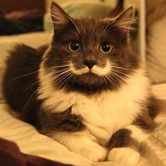 Hamilton the hipster cat has moustache like Salvador Dali
