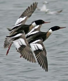 Red Breasted Merganser males