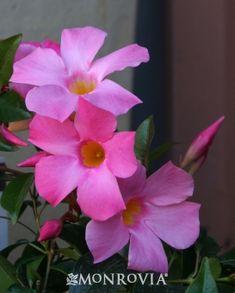 Sun Parasol® Pretty Pink Mandevilla - very pretty!