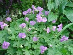 Billedresultat for geranium cantabrigiense Geranium Vivace, Scented Geranium, Plant Nursery, Shrubs, Flower Pots, Perennials, Rose, Seeds, Leaves