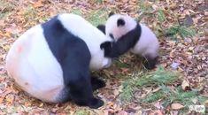 「負けないよー」 Animals And Pets, Baby Animals, Cute Animals, Cute Panda, Red Panda, Animal Pictures, Cool Pictures, My Spirit Animal, Polar Bear