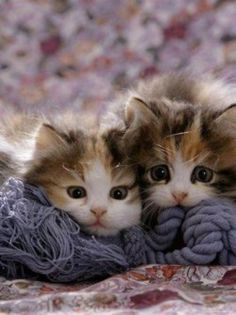 Domestic Cat Kittens, Tortoiseshell-And-White Sisters, (Persian-Cross') Photographic Print - Tiere Kittens And Puppies, Cute Cats And Kittens, I Love Cats, Crazy Cats, Kittens Cutest, Ragdoll Kittens, Bengal Cats, Siamese Cats, Pets